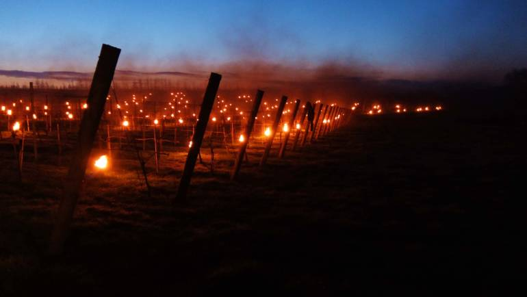 Vines devastated by late frost