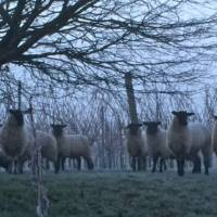 sheep-in-frosty-vineyard